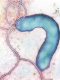 Helicobacter Pylori Bacterium Photographic Print by  NIBSC