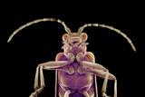 Long-horned Beetle, SEM Photographic Print by Susumu Nishinaga