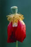 Pollinated Poppy Print by David Nunuk