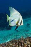 Longfin Batfish Photographie par Matthew Oldfield
