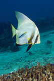 Longfin Batfish Photographic Print by Matthew Oldfield