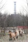 Wild Horses Near Chernobyl Prints by Ria Novosti