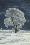 Cottonwood Tree Covered In Ice Posters by Magrath Photography