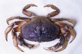 Dungeness Crab Photo by David Nunuk