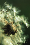 Dandelion Clock Photographic Print by David Nunuk