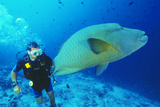 Napoleon Wrasse And Diver Photographic Print by Matthew Oldfield