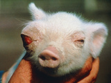 Piglet Born Deformed Due To Chernobyl Fallout. Print by Ria Novosti