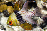 Pajama Cardinalfish Photographic Print by Matthew Oldfield
