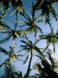 Coconut Palms Poster by Magrath Photography