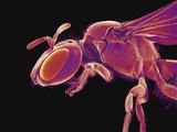 Bee, SEM Photographic Print by Susumu Nishinaga