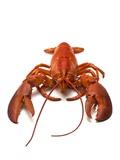 Lobster Reprodukcja zdjęcia autor David Nunuk