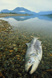 A Dead Chinook Salmon Seen Shortly After Spawning Photographic Print by David Nunuk