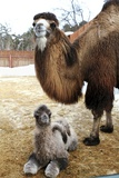 Camel And Colt Photographic Print by Ria Novosti
