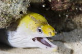 Young Undulate Moray Eel Photographic Print by Matthew Oldfield