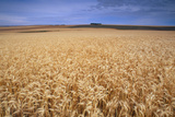 Field of Wheat, Triticum Sp. Photographic Print by David Nunuk