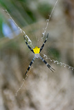 Argiope Spider Photographic Print by Matthew Oldfield