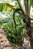 Banana Tree Print by David Nunuk