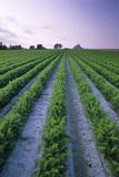 Carrot Field Reprodukcja zdjęcia autor David Nunuk