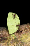 Leaf-cutter Ants Posters by Dr. Morley Read