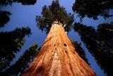 Giant Sequoia 'General Sherman' Photographic Print by David Nunuk