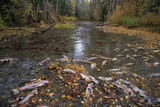 Sockeye Salmon Spawning Photographic Print by David Nunuk