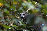 Ring-tailed Lemur In a Tree Photographic Print by Alexis Rosenfeld