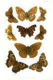 British Butterflies, 1897 Photo by Maria Platt-Evans
