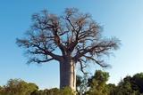 Adansonia Madagascariensis Baobab Tree Photographic Print by Alexis Rosenfeld
