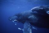 Pukkelhvaler Fotografisk tryk af Alexis Rosenfeld