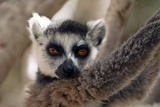 Ring-tailed Lemur Photographic Print by Alexis Rosenfeld