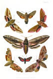 British Moths, 1897 Photographic Print by Maria Platt-Evans
