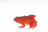 Golden Mantella Photographic Print by Alexis Rosenfeld