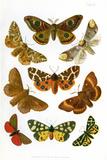 British Moths, Illustration Print by Maria Platt-Evans