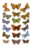 British Butterflies, 1897 Photographic Print by Maria Platt-Evans