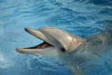Dolphin In Captivity Photographic Print by Alexis Rosenfeld