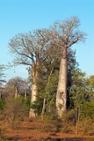 Adansonia Madagascariensis Baobab Trees Posters by Alexis Rosenfeld