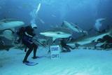 Shark Feeding Print by Alexis Rosenfeld