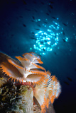 Christmas Tree Worm Photographic Print by Peter Scoones