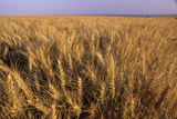 Wheat Photographic Print by David Nunuk