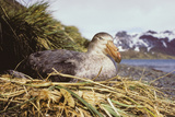 Southern Giant Petrel Photographic Print by Peter Scoones