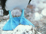 Blue-footed Booby Feet Prints by Peter Scoones