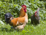 Free-range Chickens Photographic Print by Paul Rapson