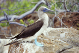 Blue-footed Booby Photographic Print by Peter Scoones