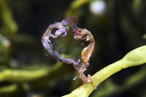 Skeleton Shrimp Photographic Print by Alexander Semenov