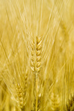Wheat Photographic Print by Paul Rapson