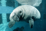 Manatee Photographic Print by Alexis Rosenfeld