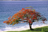 Flamboyant Tree Photographic Print by David Nunuk