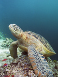 Green Turtle Photographic Print by Peter Scoones
