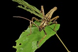 Stick Insect Photographic Print by Robbie Shone