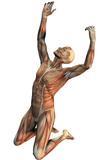 Male Musculature Print by Friedrich Saurer